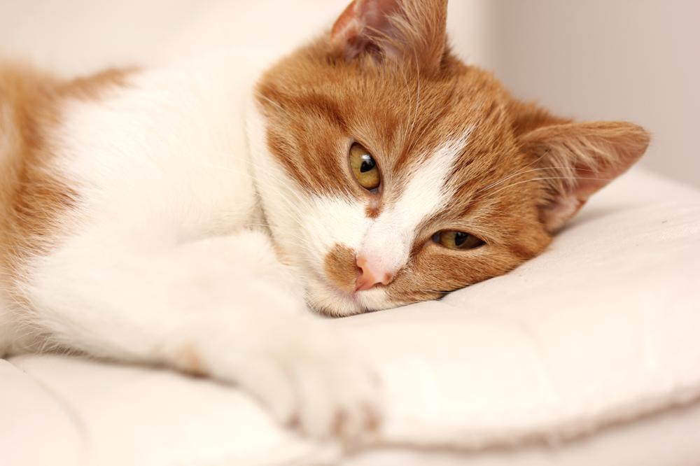 Biegunka u kota: przyczyny, leczenie, domowe sposoby